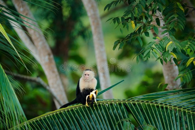 Monkey with banana. Black monkey hidden in the tree branch in the dark tropical forest. White-headed Capuchin, feeding fruits. Animal in nature habitat stock images