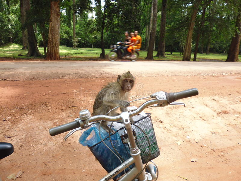 Monkey in the basket of the bike. Ankor Wat Cambodia royalty free stock photography