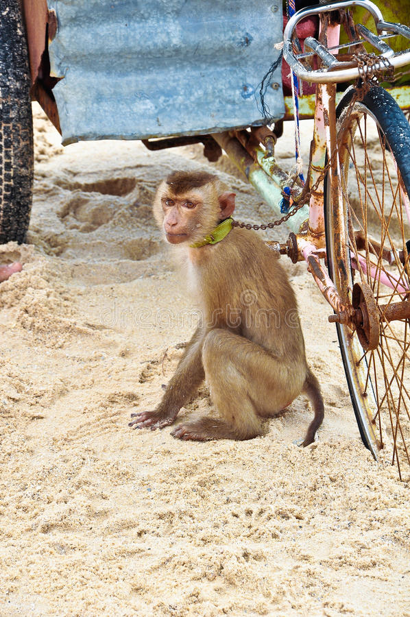 A monkey on a beach and an old rusty bike. A monkey and an old rusty bike stock images