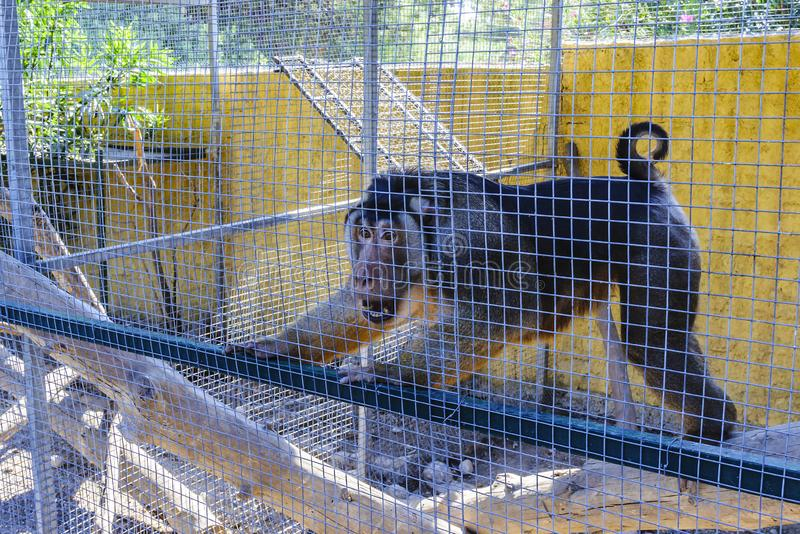 A monkey behind bars in an open-air cage in a zoo and her emotions in connection with a passing group of tourists. royalty free stock images