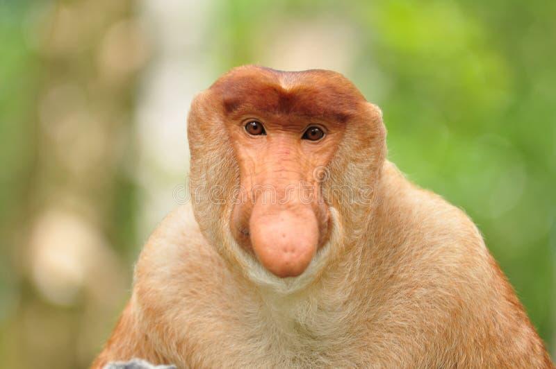Download Monkey Bekantan stock image. Image of borneo, animal - 73312629