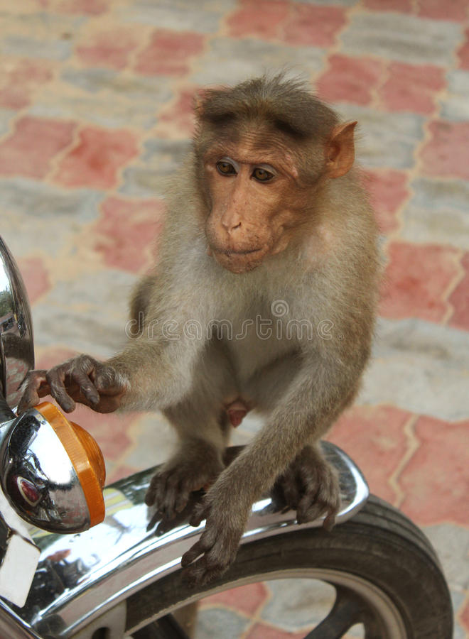 Monkey on a bike. A funny monkey on a bike close up shot stock image