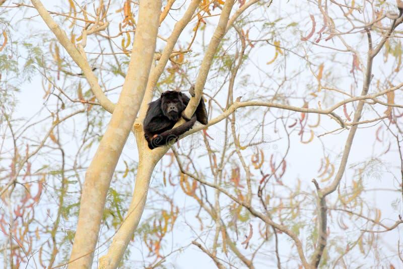 Monkey black howler, Alouatta caraya, nature habitat. Black monkey sitting in forest. Black monkey tree. Animal in Pantanal, Brazi royalty free stock image