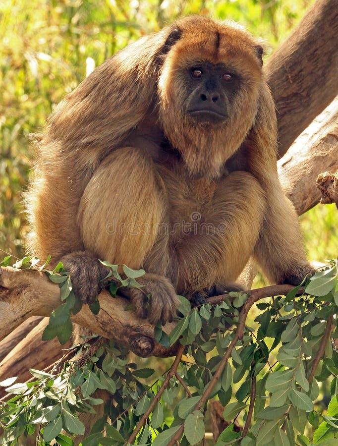 Monkey. Black Howler Monkey Female Perched On Tree Limb royalty free stock images