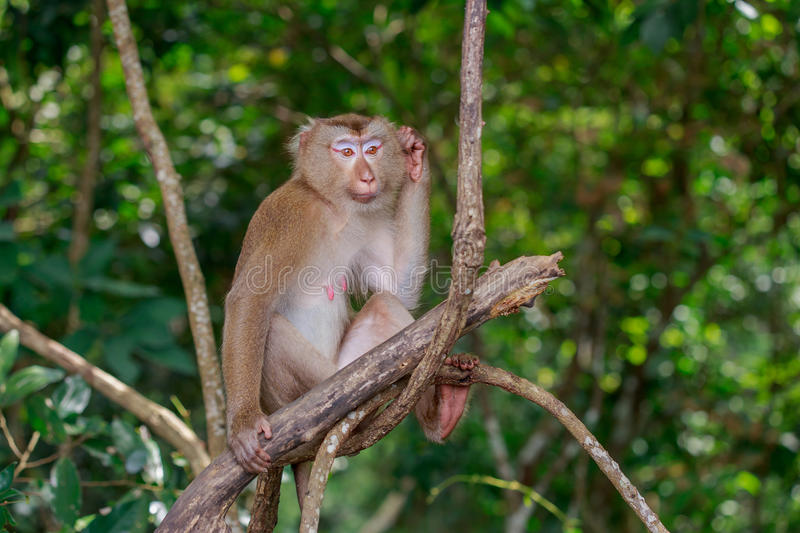 Monkey on branch. The female monkey sitting on branch and scratching its head in confusion royalty free stock photography