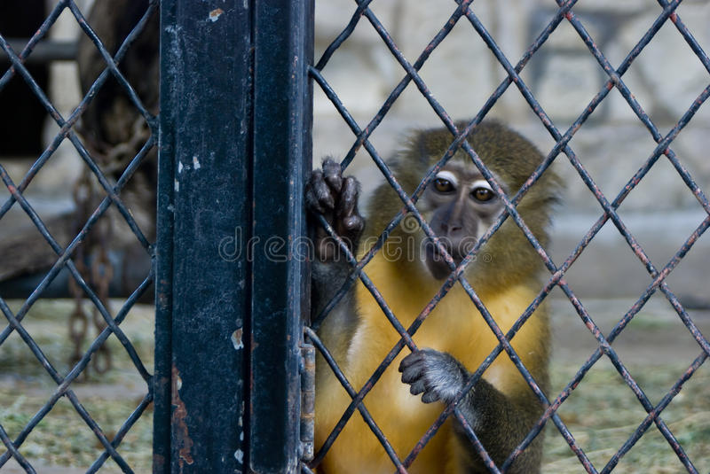 Download Monkey in a cage stock image. Image of fenced, clutch - 10478385