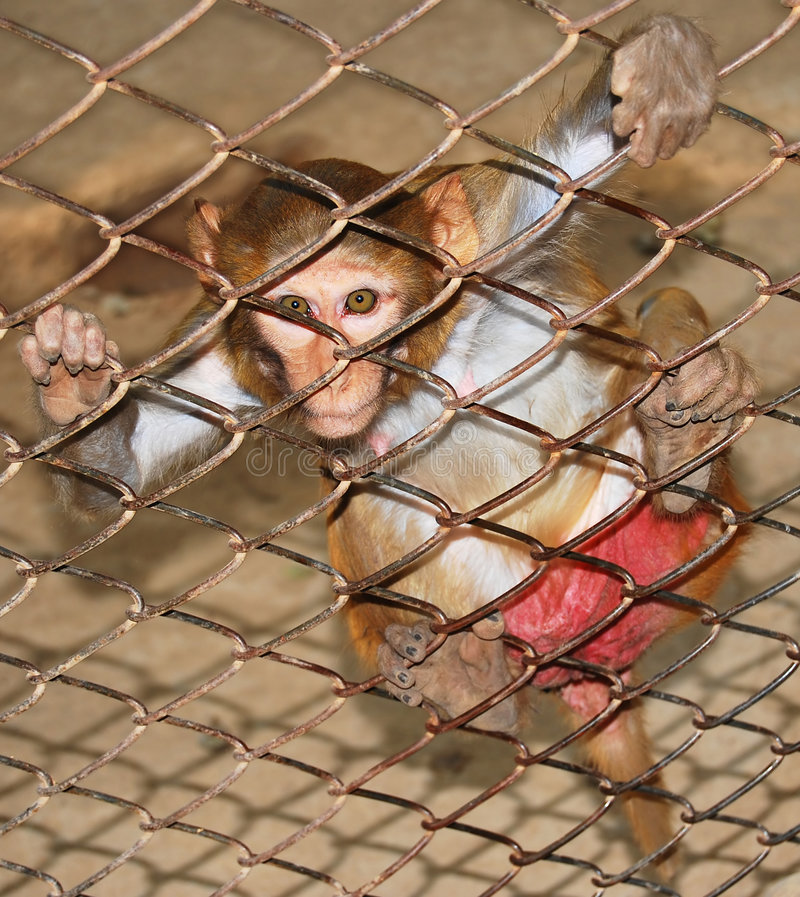 Monkey in a cage. A desperate monkey looking through the wire frame stock image