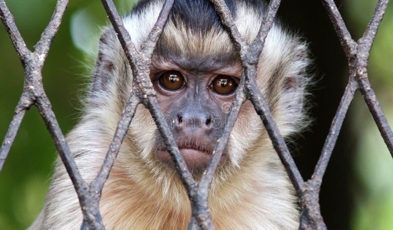 sad Monkey in cage stock image