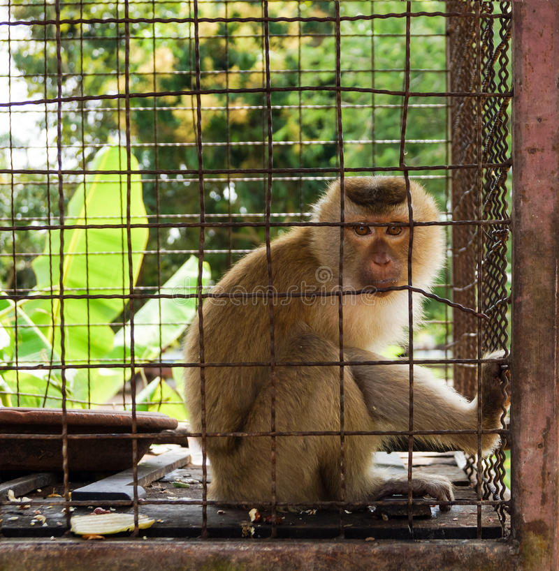 Monkey in the cage stock image