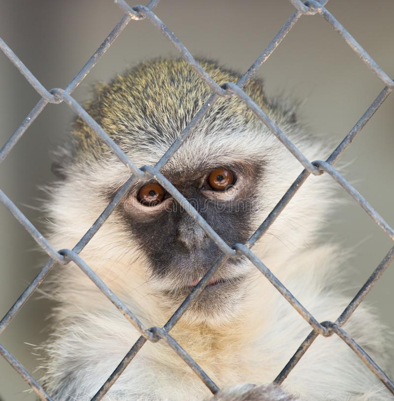 Monkey in a cage royalty free stock photos