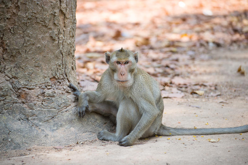 Monkey (Cangrejo-comiendo el macaque) en Tailandia fotos de archivo libres de regalías