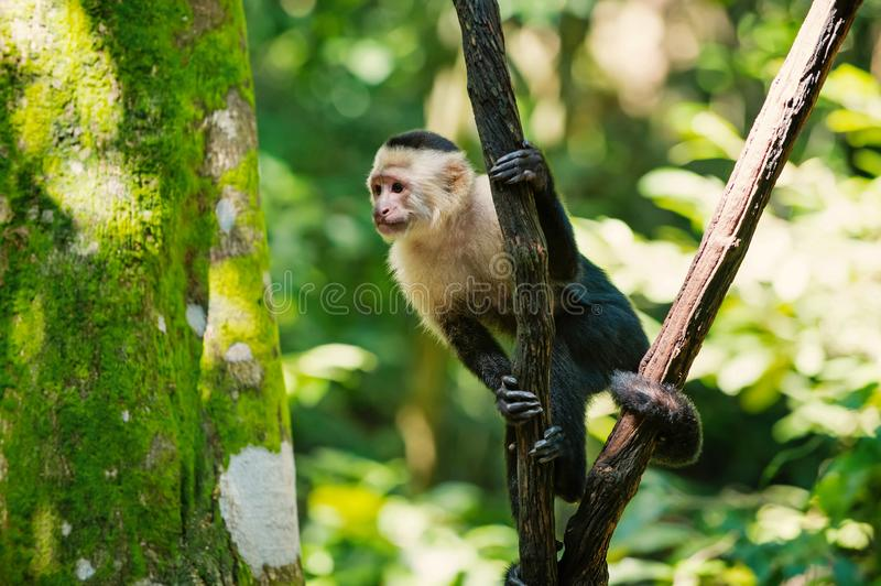 Monkey capuchin sitting on tree branch in rainforest of Honduras. On sunny summer day on blurred natural background. Wildlife, wild animals and nature concept stock images