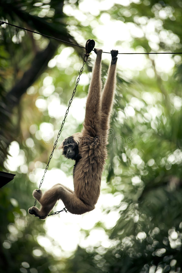 Download Monkey on a chain stock image. Image of fluffy, park - 21350409