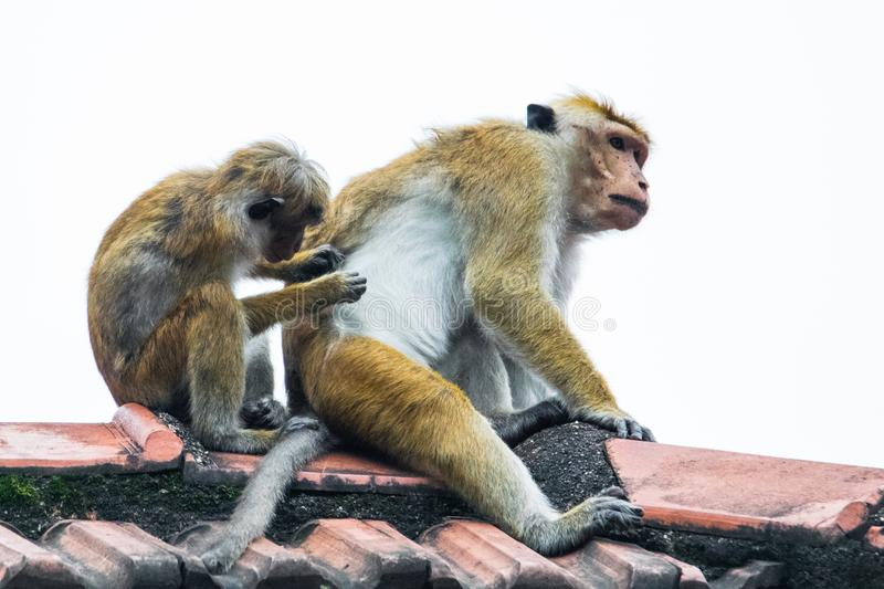 Monkey checking for fleas. Toque Macaque Macaca sinica is a commonly found monkey endemic to Sri Lanka. These primates are easily recognized by their golden royalty free stock photography
