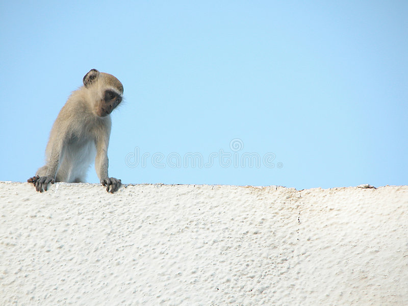 Monkey Chillin stock photography