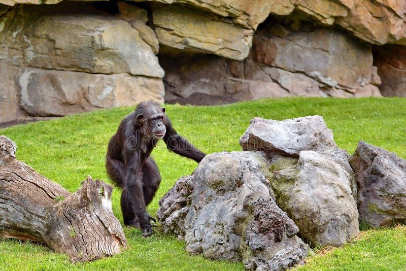 Monkey. Chimpanzee Monkey on the grass stock photos
