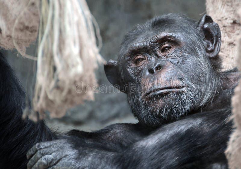 Monkey. Chimpanzee standing on a rope