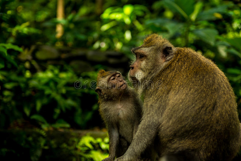 Monkey Clan at Sacred Monkey Forest Sanctuary royalty free stock photos