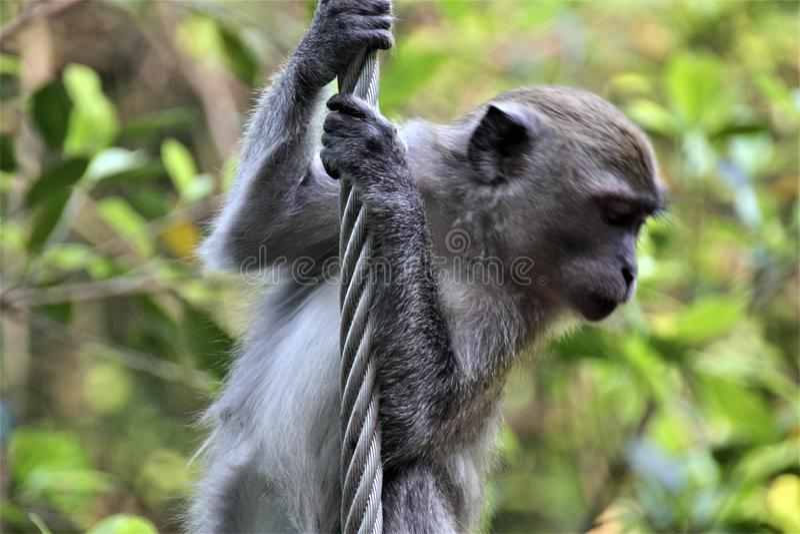 Monkey climbing iron rob in forest stock photos