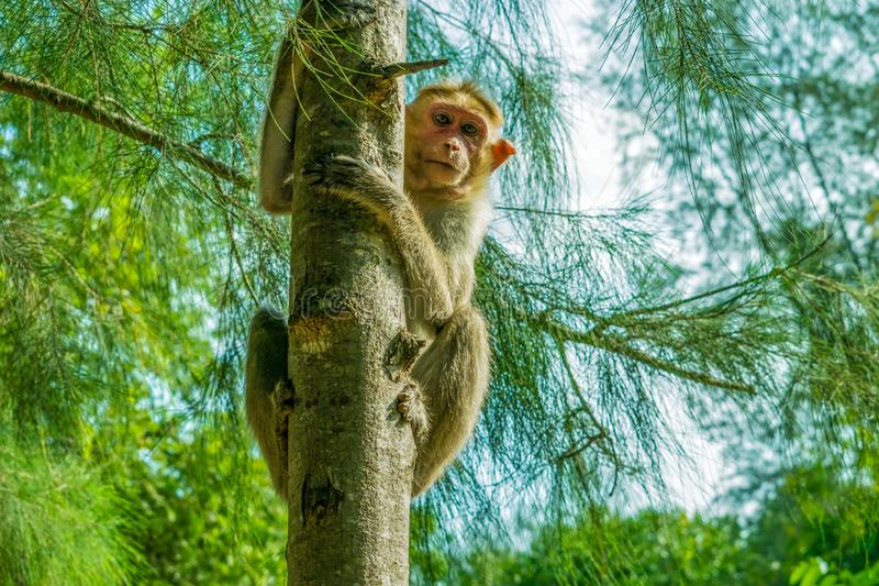 Monkey climbing on the tree royalty free stock images