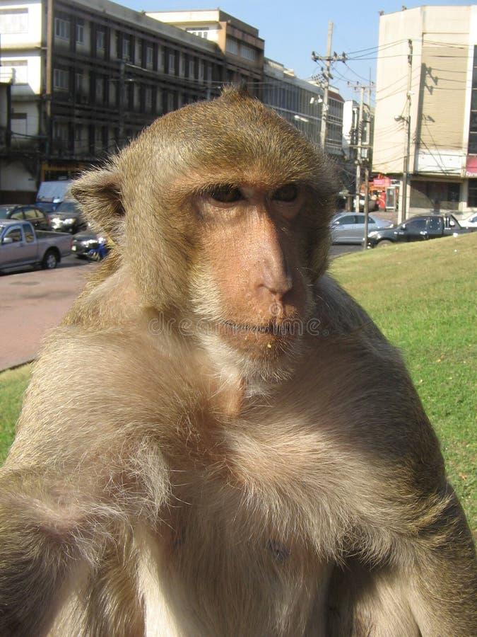 Monkey close-up stock photography