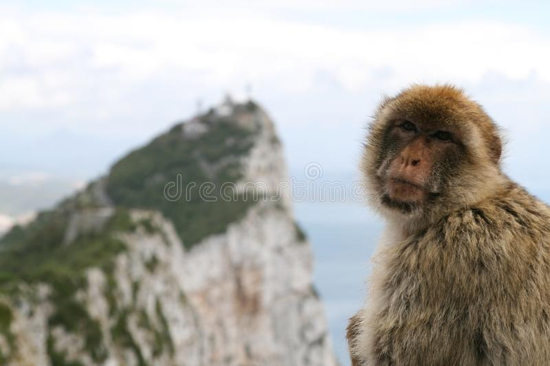 Monkey closeup stock photography