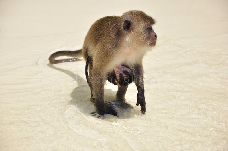 Monkey com o bebê anexado, na praia imagens de stock