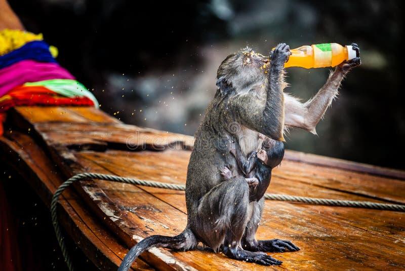 Monkey com o cachorrinho em um barco de madeira que bebe de uma garrafa imagem de stock royalty free