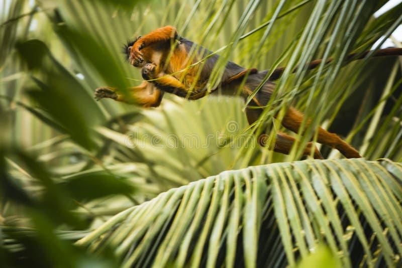 Monkey con el bebé que salta de árbol al árbol imagen de archivo