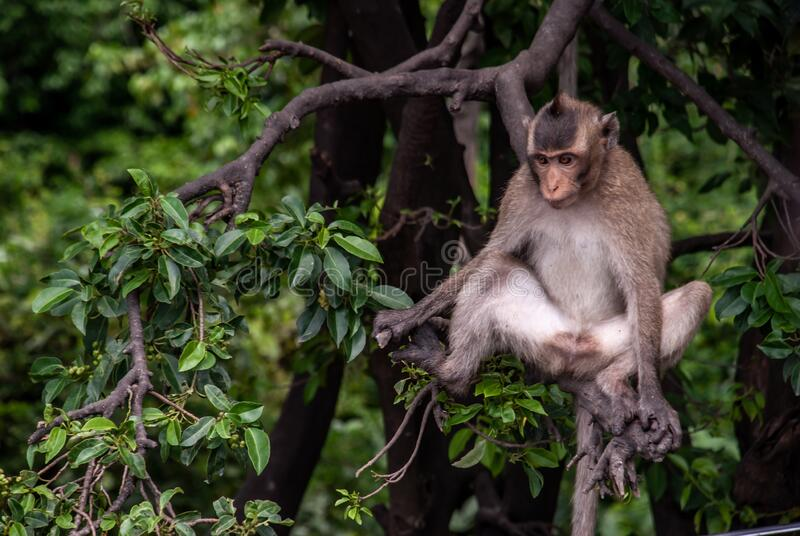 A monkey Crab-eating macaque to sit leisurely the atmosphere in the afternoon. Bangkok, Selective focus stock images