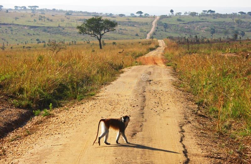Monkey crossing long winding dirt road stock photo