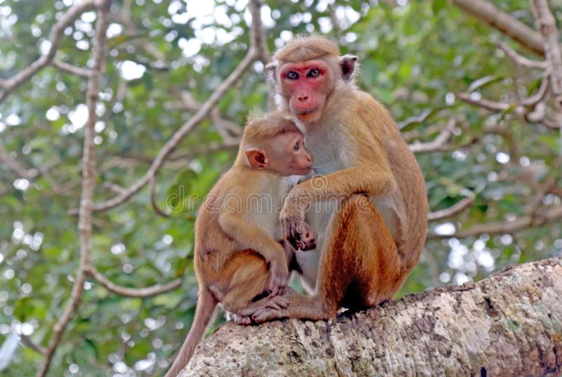 Monkey with cub in jungle royalty free stock photo