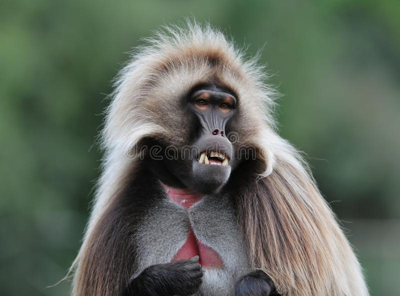 Monkey curious look royalty free stock image