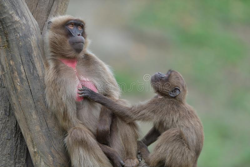 Monkey curious look royalty free stock photos