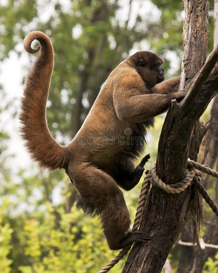Monkey with curled tail climbing tree royalty free stock photos