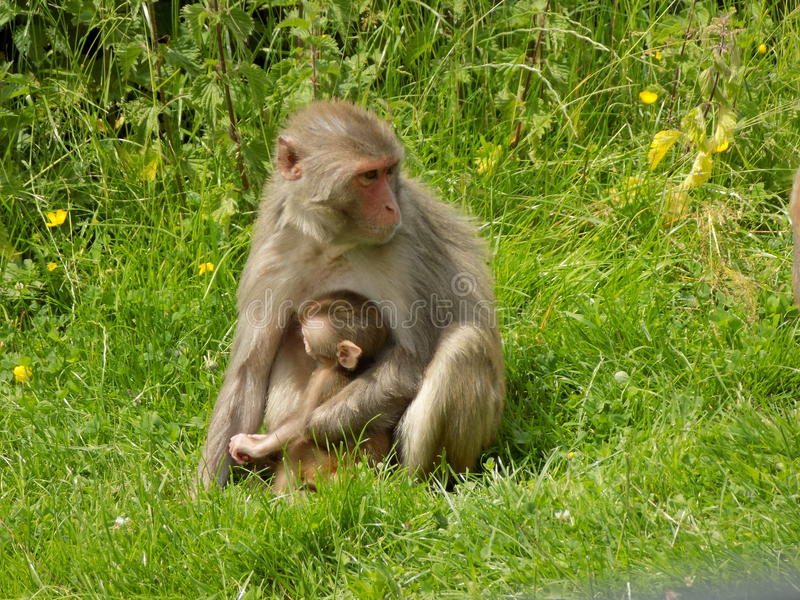 Monkey. Cute mother and baby photo stock photography