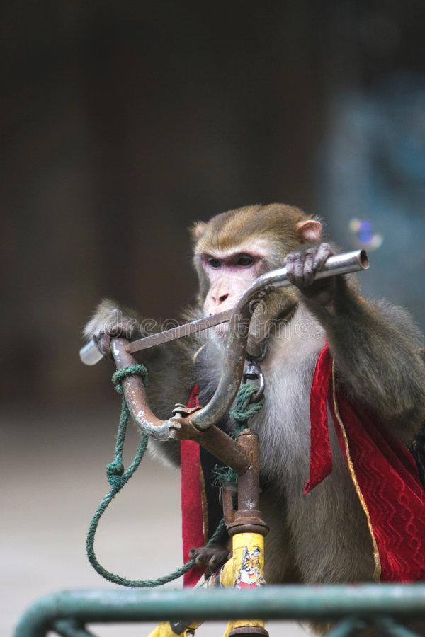Download Monkey cycling  of circus stock photo. Image of docile - 6329592