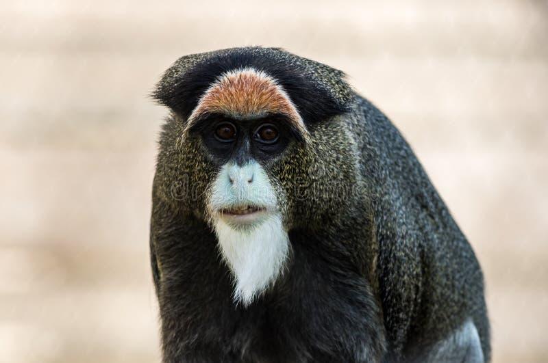 Monkey de Brazza's, ένας ελκυστικός αρχιεπίσκοπος με τη διακριτική γούνα στοκ εικόνα