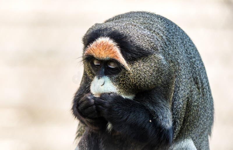Monkey de De Brazza's, un primat attirant avec la fourrure distinctive photos libres de droits