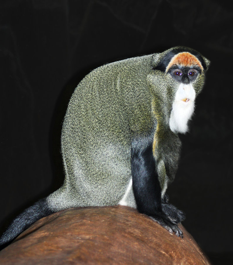 Monkey Debrazzas stockfoto