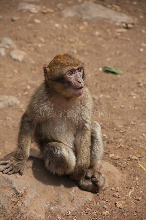 Monkey in the dessert royalty free stock image