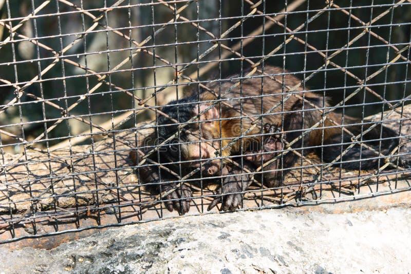 Monkey detain royalty free stock photography