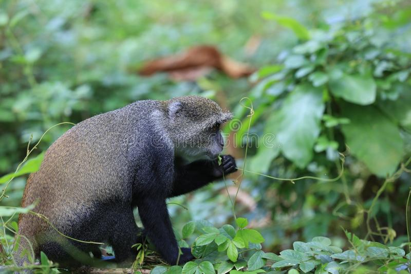 Monkey eat green leafage in jungle stock photography