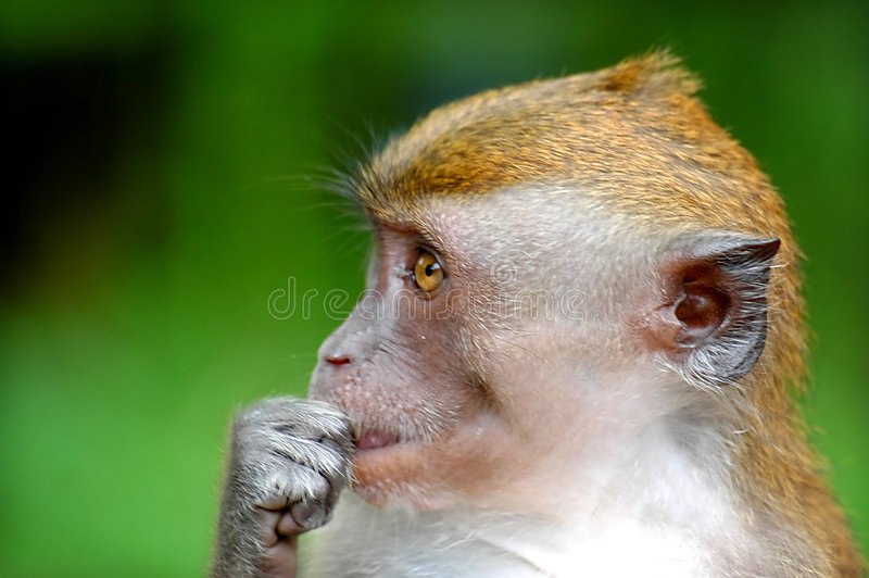 Monkey eating royalty free stock photo