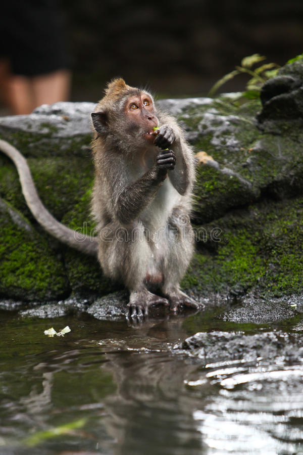 Download Monkey eating stock image. Image of macaque, animal, hold - 12841461