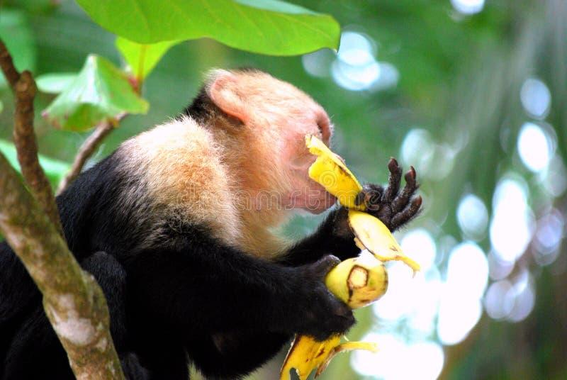 Monkey eating a banana stock photos
