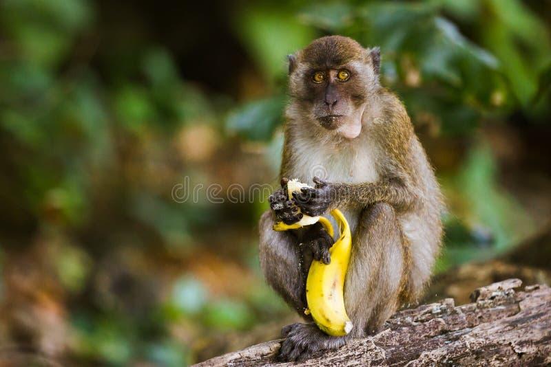 Monkey eating a banana stock image