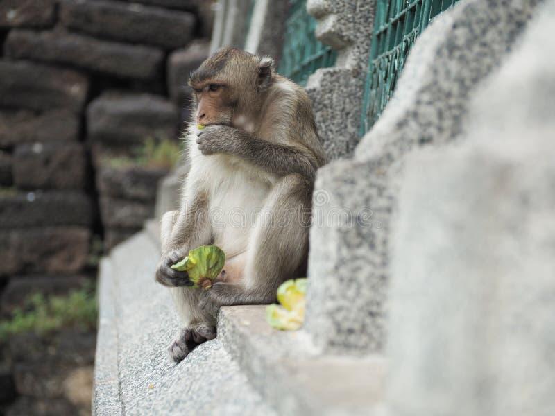 Monkey eating food. At lopburi THAILAND stock photography