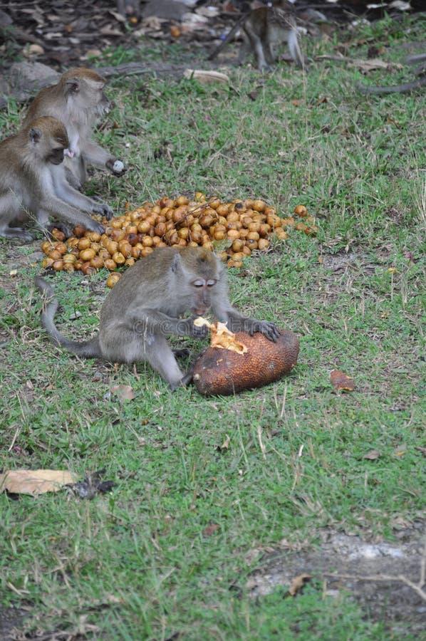 Monkey eating it food. stock photography