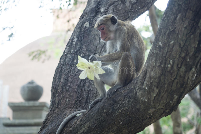 Monkey eating the offerings, Anuradhapura, Sri Lanka. Monkey eating flower at a temple royalty free stock photography